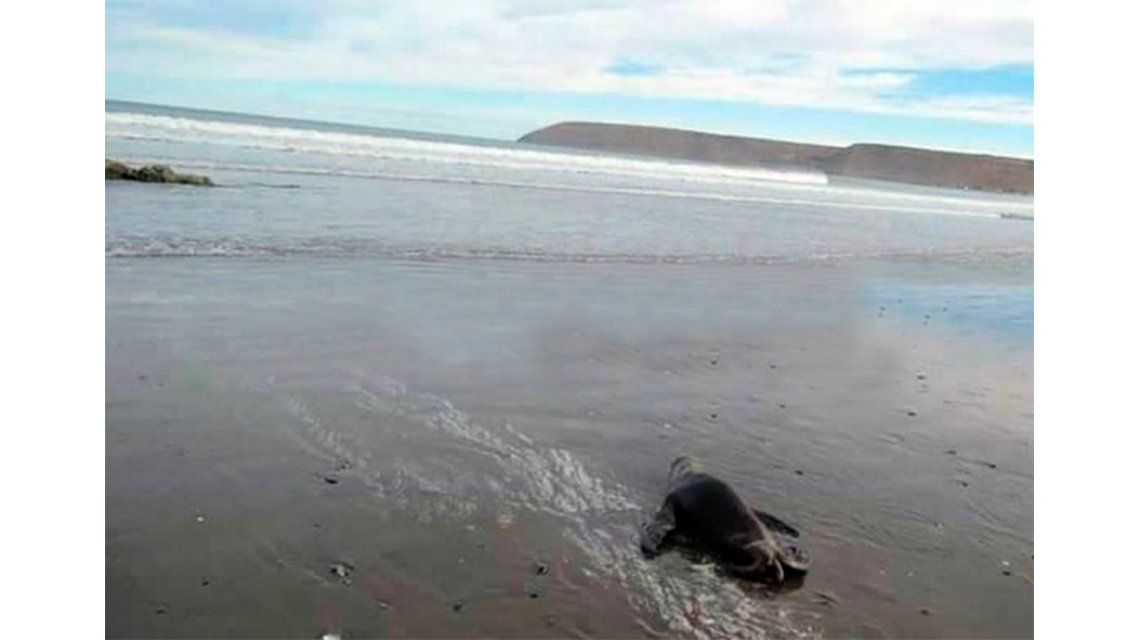 Noble intento de un grupo de nenes de salvar un lobito marino
