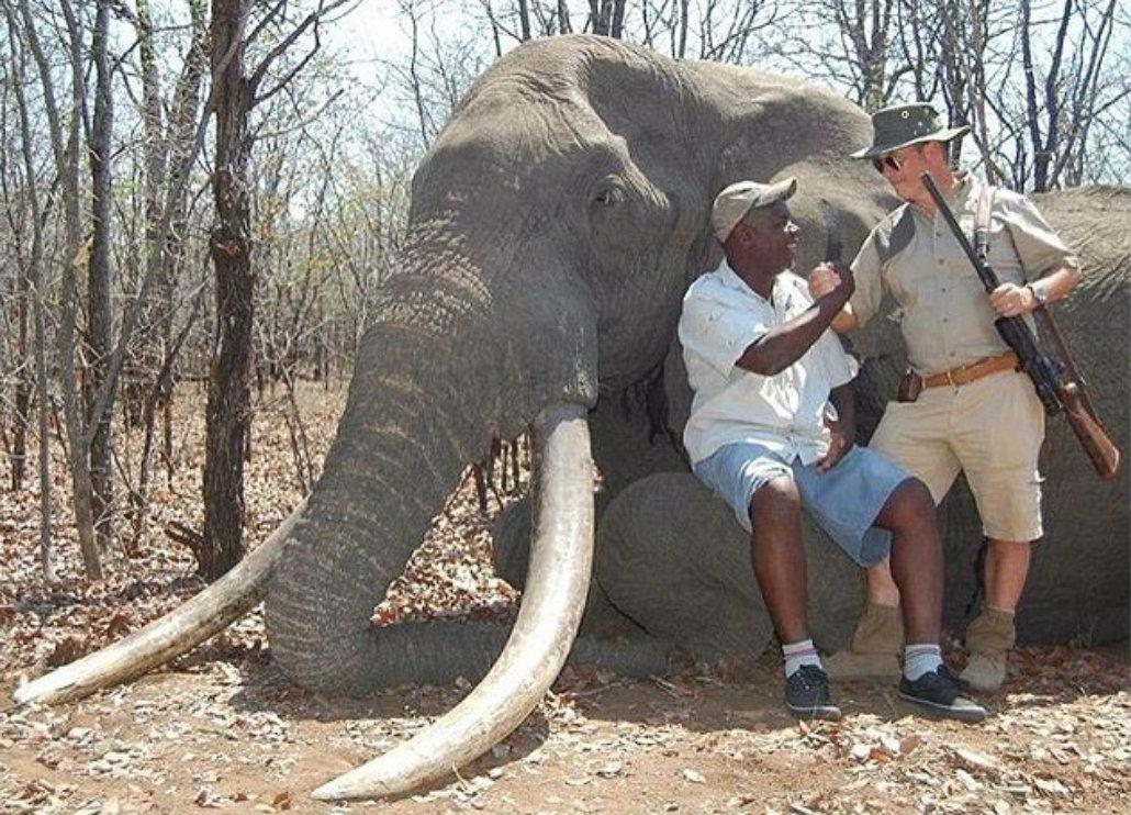 Un alemán pagó 60 mil dólares para cazar al elefante más viejo de ...