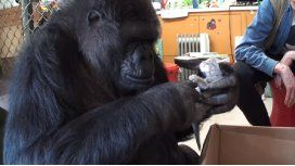 Koko, la gorila que adopta a los gatitos: conocela