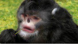 Descubren a un mono que parece Michael Jackson y otros animales especiales