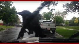 Cuervo se posa sobre un limpiaparabrisas