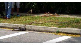 VIDEO: La tremenda pelea mortal entre una cobra y una pitón