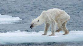 Una foto de osa polar desnutrida crea alarma