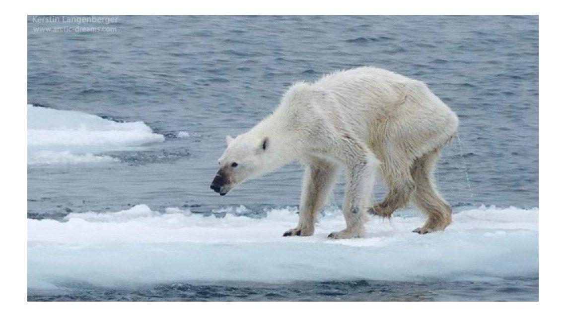 Una foto de osa polar desnutrida crea alarma sobre el clima
