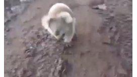 VIDEO: un koala la persiguió, se asustó y escapó en un cuatriciclo