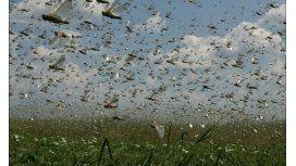 Buscan evitar la peor plaga de langostas