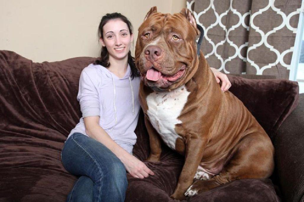 Hulk, el enorme pitbull que pesa 80 kilos y es furor en internet