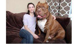 Hulk, el enorme pitbull que es furor en intenet