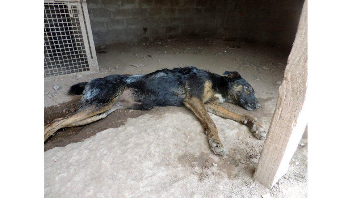 Una extraña enfermedad paraliza a los perros de una ciudad bonaerense