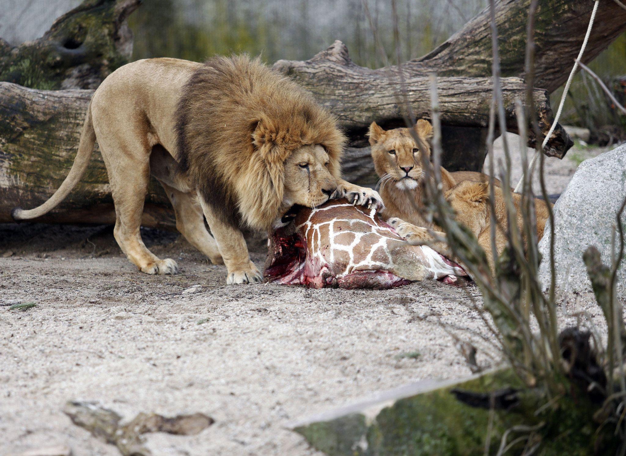 El zoo que había sacrificado a una jirafa ahora mató a cuatro leones