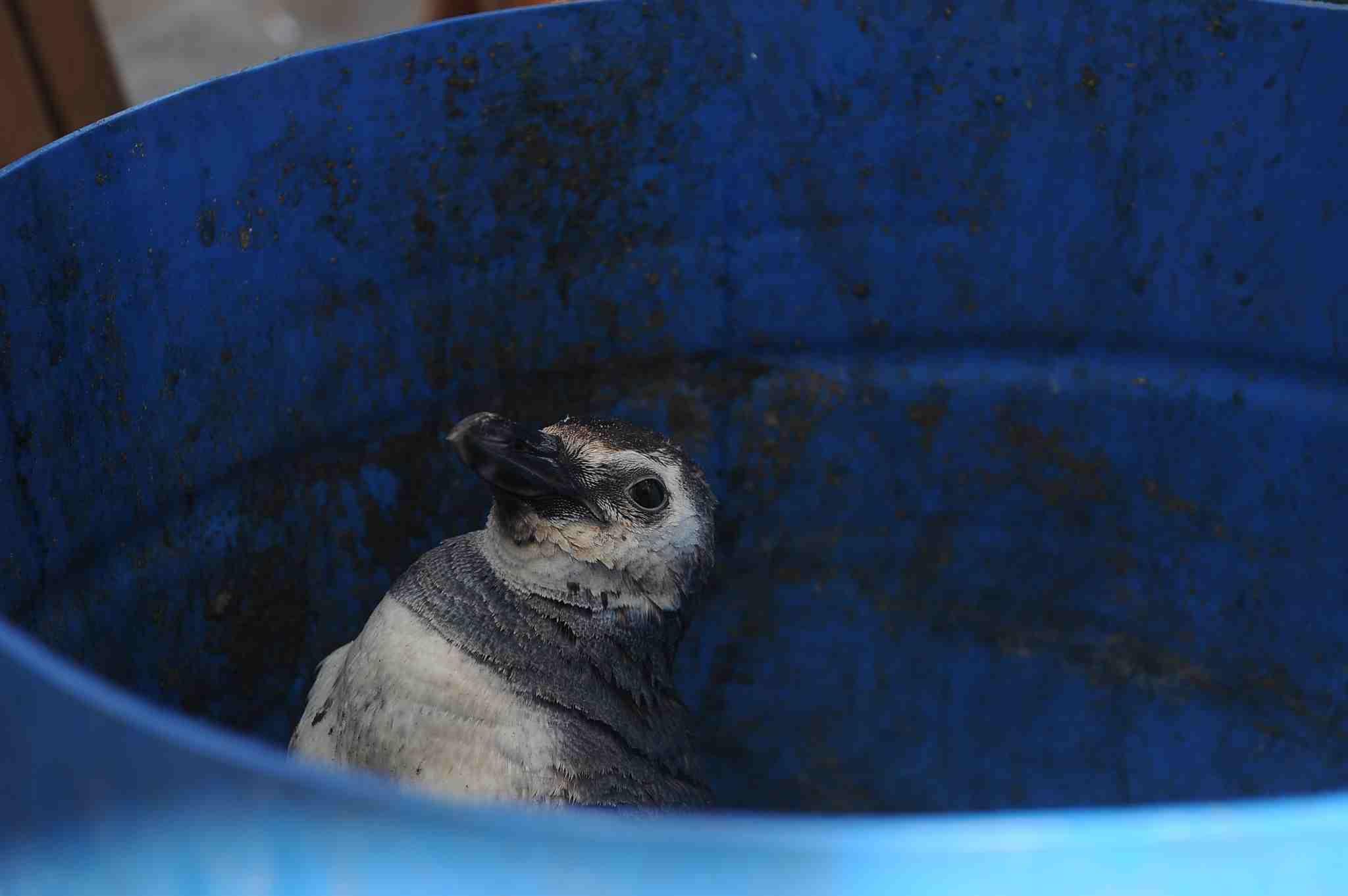 Un pingüino fue rescatado en una playa de Mar del Plata