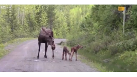 Una mamá alce ataca a un auto para proteger a sus dos crías