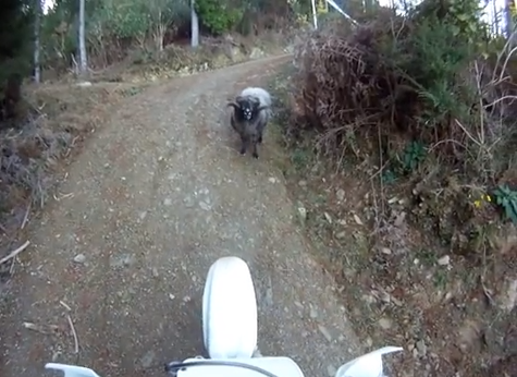 VIDEO: Un carnero enojado ataca a un motociclista