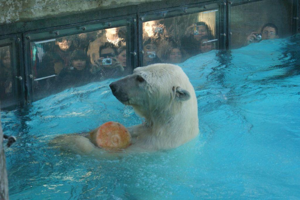 Murió el oso polar del Zoo por el calor sofocante del lunes