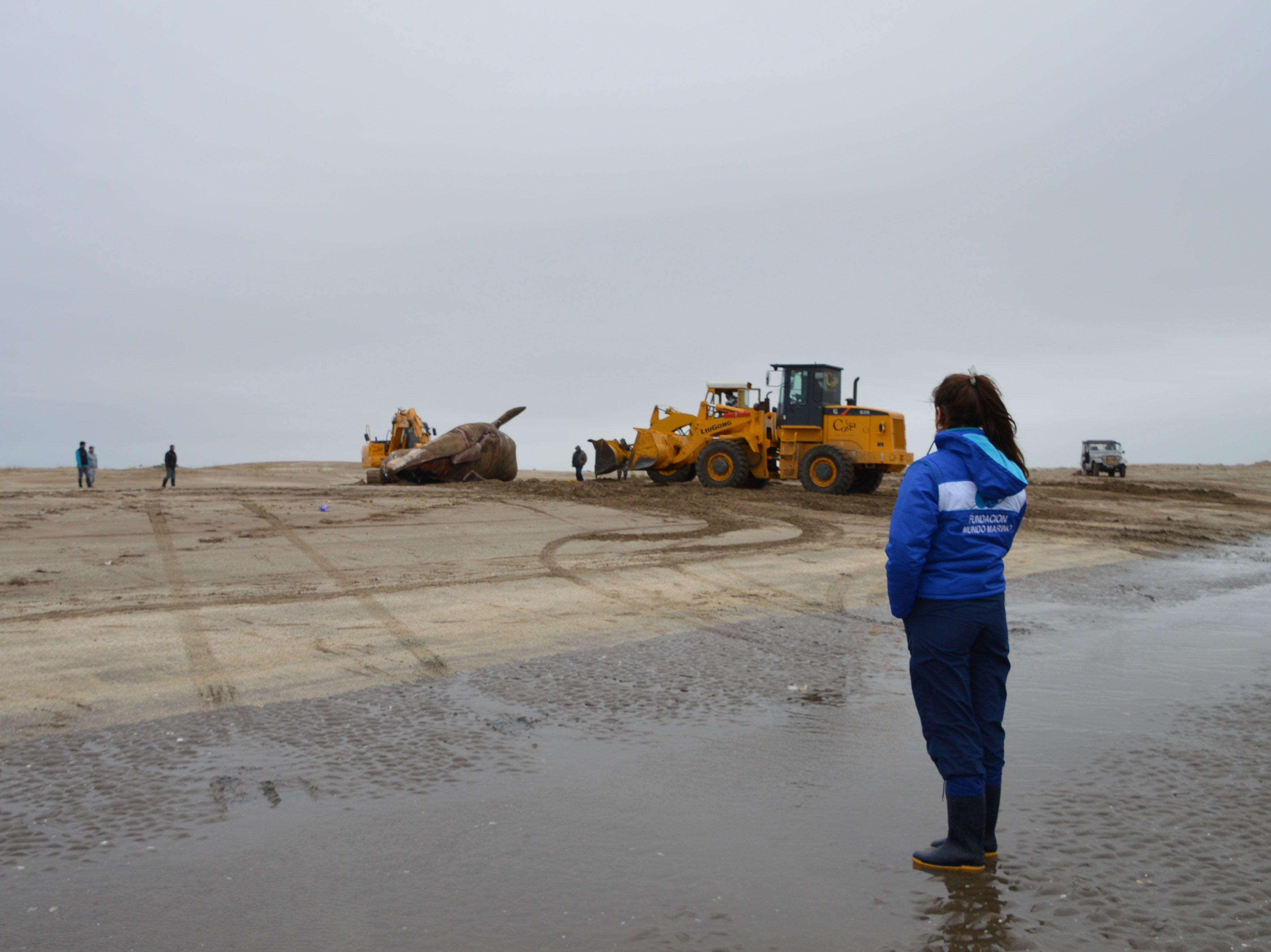 Hallaron muerta a una ballena de 16 metros en San Clemente