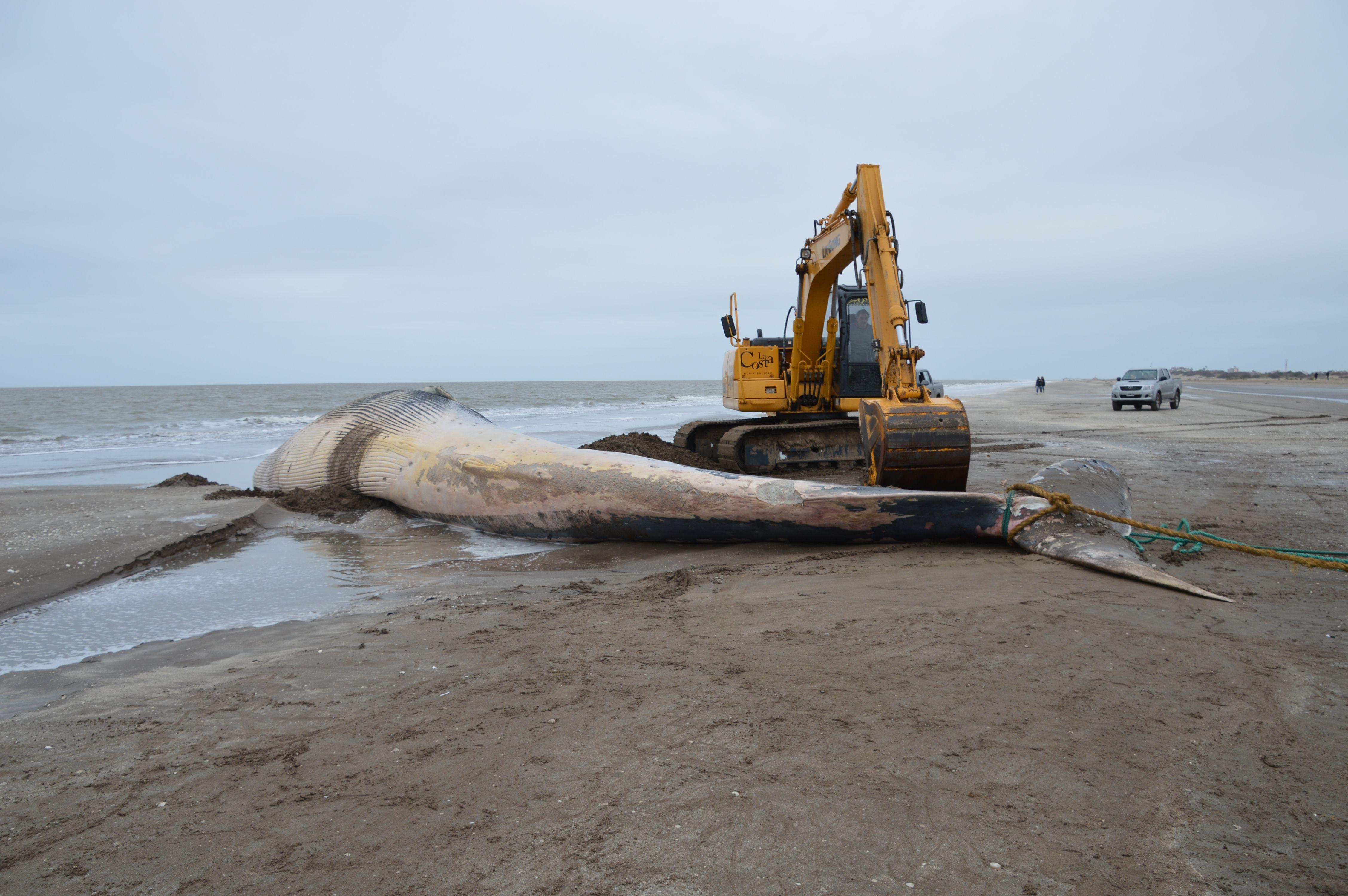 Hallaron muerta una ballena de 16 metros en San Clemente