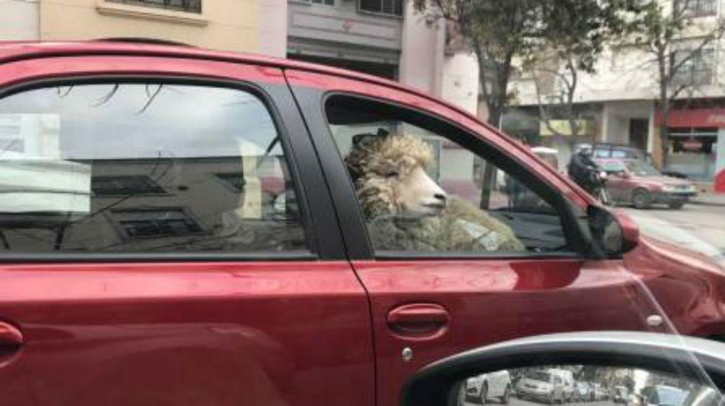 El misterio del hombre que pasea en su auto con una oveja