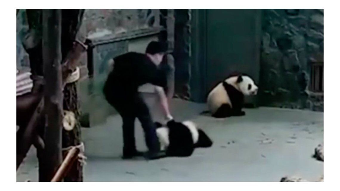 Los pandas bebés fueron maltratados por sus cuidadores