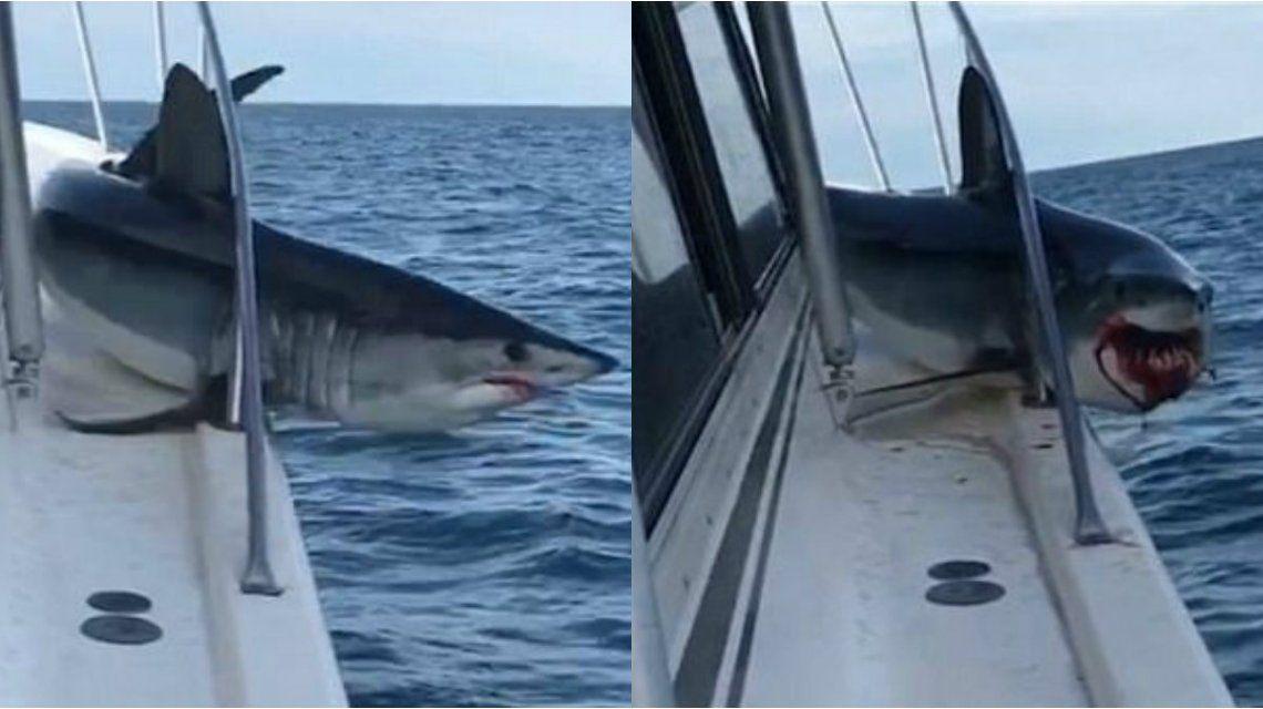 El tiburón quedó atrapado en la baranda pero logró zafarse