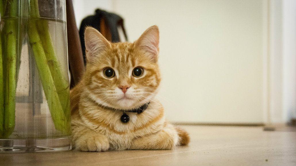 Los gatos vuelven por cariño a sus dueños
