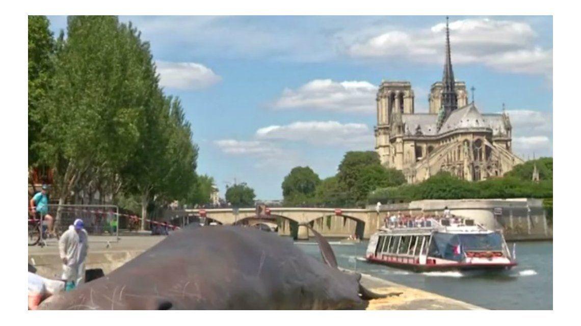 El cachalote apareció varado al borde del Sena