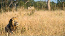 Mataron en Zimbabue a Xanda, el hijo mayor del león Cecil
