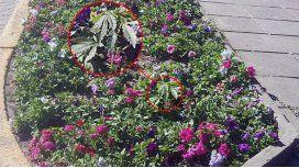 Creció una planta de 20 centímetros en una plaza de Rafaela