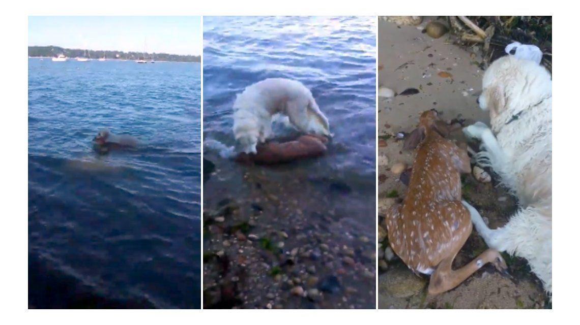 Un perro salva a un ciervo que se estaba ahogando