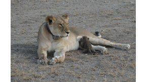 Una leona amamantó a un leopardo - Crédito: washingtonpost.com Joop Van Der Linde/Ndutu Lodge