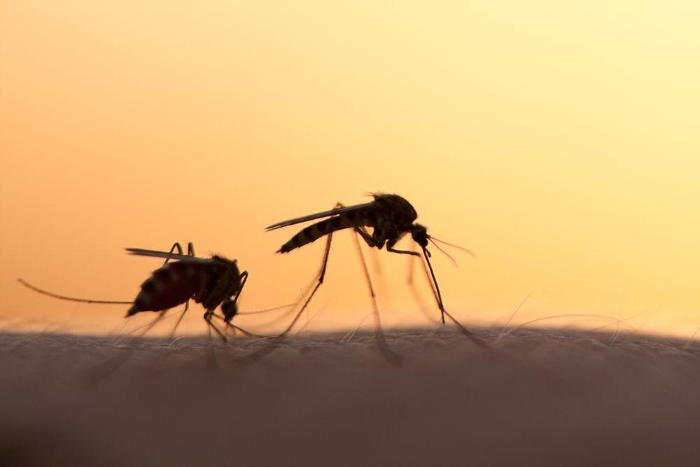 Google creó unos mosquitos estériles para combatir el zika