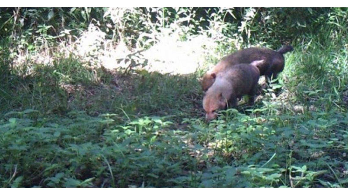 Fotografían por primera vez a una extraña especie de zorro en Misiones
