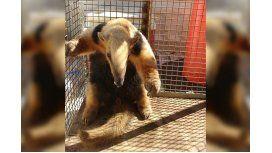 Rescataron un oso hormiguero en peligro de extinción