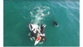 Un grupo de orcas asesinas persiguen y matan a una ballena