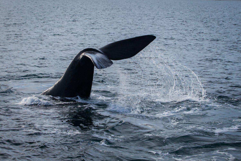 Las ballenas suelen ser el mayor atractivo