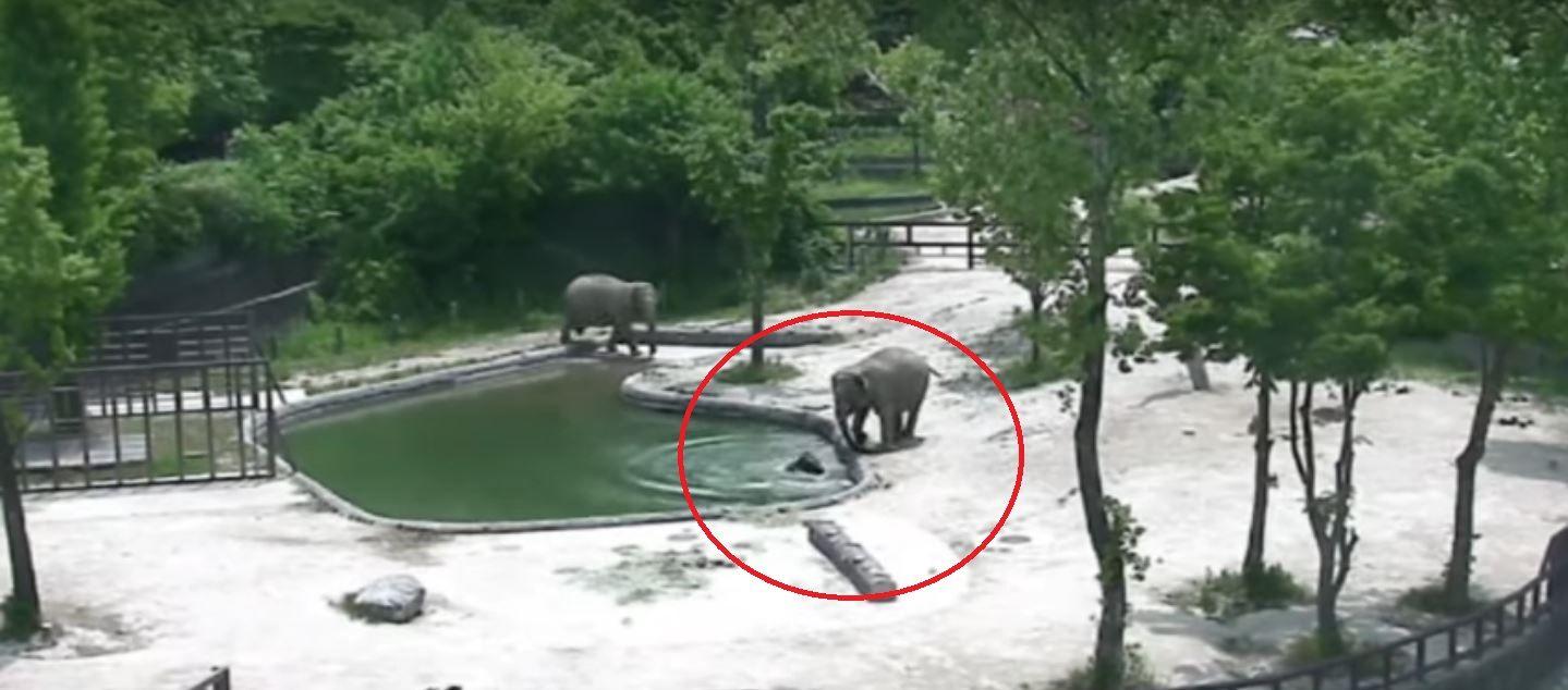 La reacción de los dos padres cuando su elefante bebé se cayó a una pileta