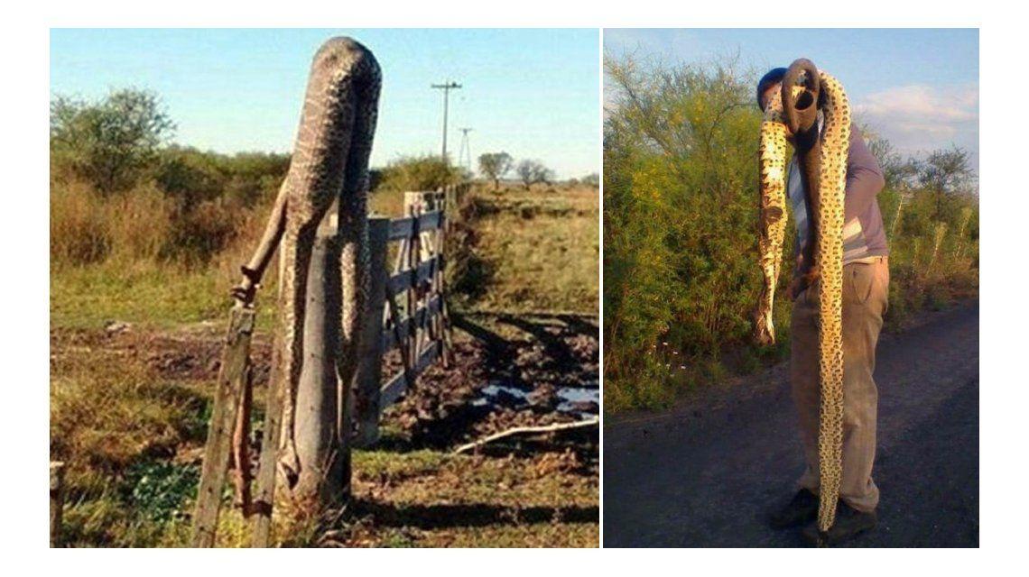 Invasión de víboras gigantes en Entre Ríos tras las inundaciones