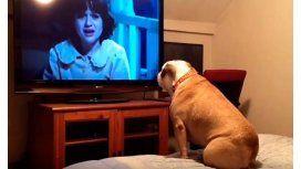 La reacción de un bulldog al ver película de terror