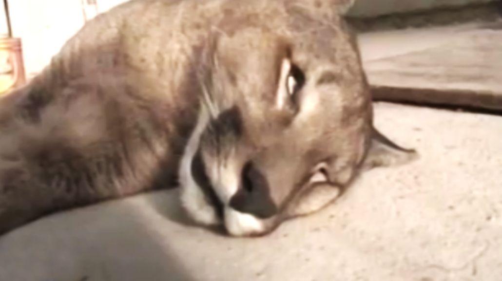 Encontró un puma muerto en su patio