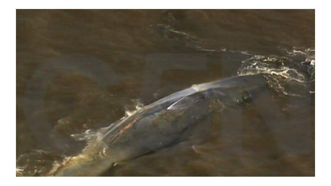 Una ballena quedó varada en el Río de la Plata