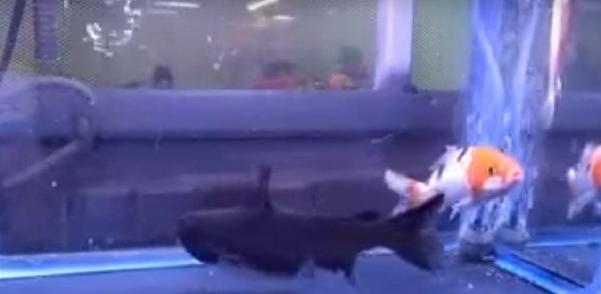 Un pez se comió a otro dentro de la pecera