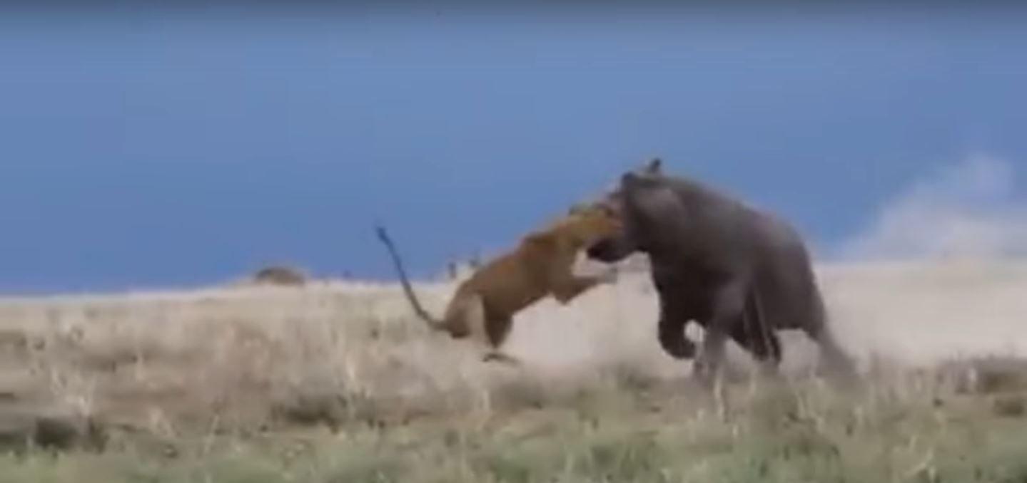 Mirá cómo un hipopótamo se defendió atacando a un león
