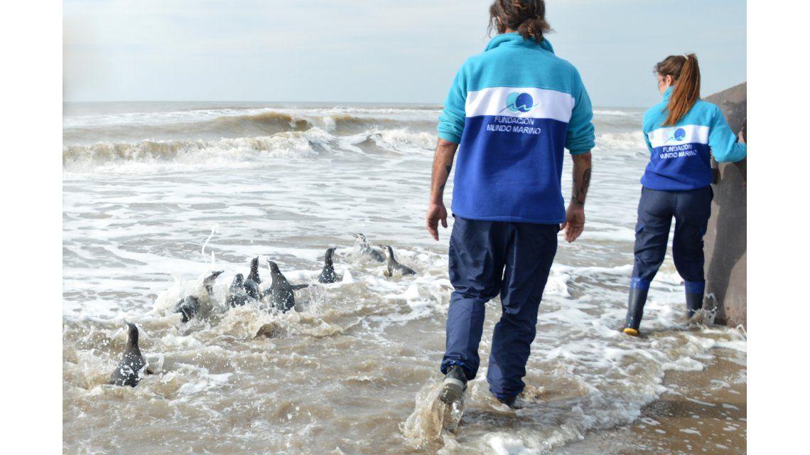 El momento en que pingüinos magallánicos regresaban al mar.