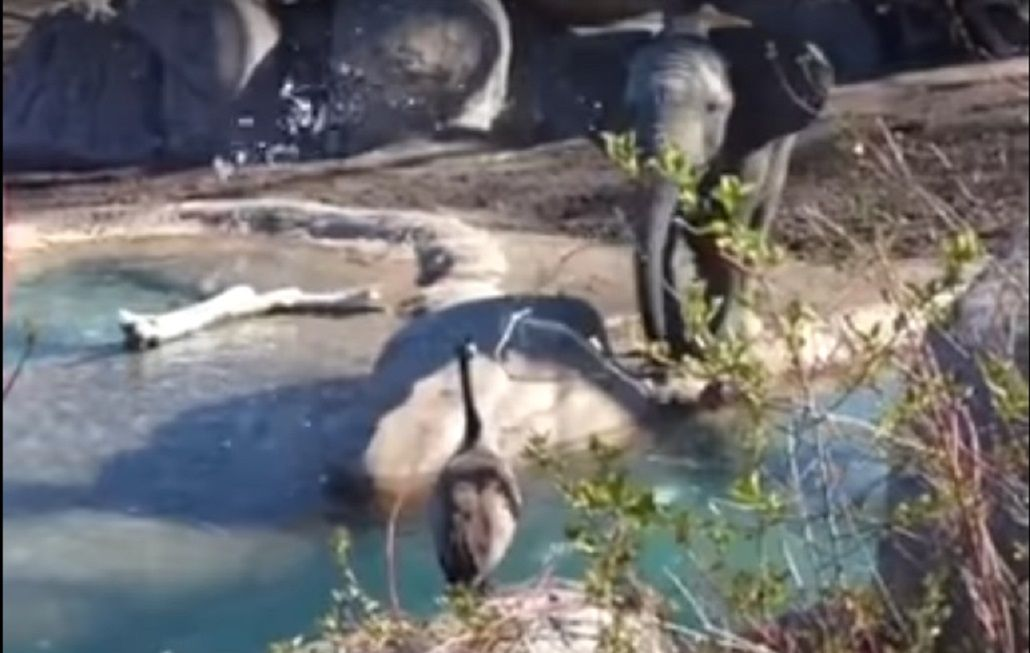 Un ganso se enfrentó con un elefante