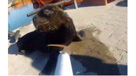 Salvó a 3 lobos marinos de ahorcarse conzunchos