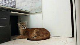 El puma fue llevado a una reserva