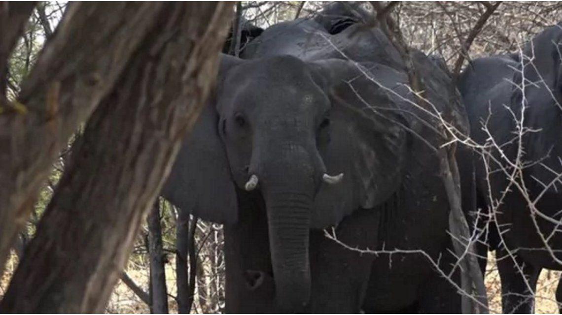 Un cazador argentino murió aplastado por un elefante en Namibia
