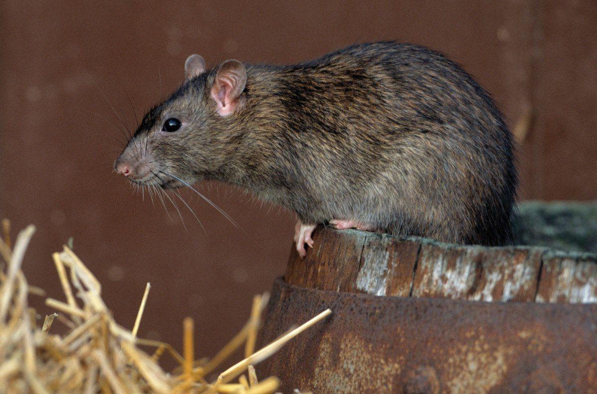 Rata. Imagen ilustrativa