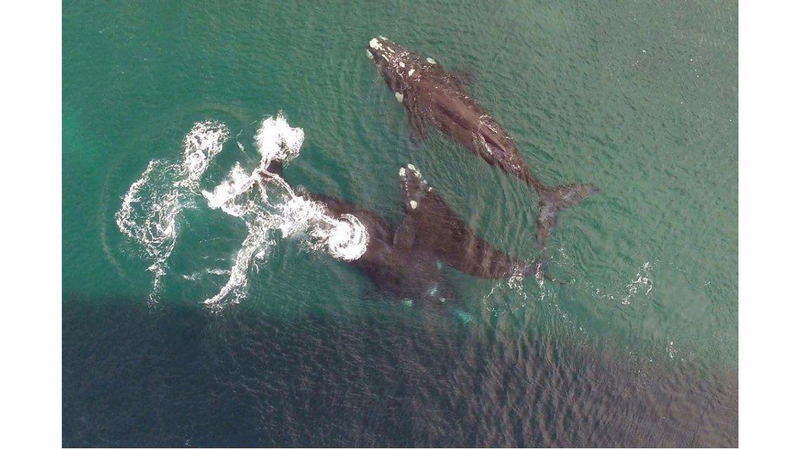 Ballenas copulando en Puerto Madryn