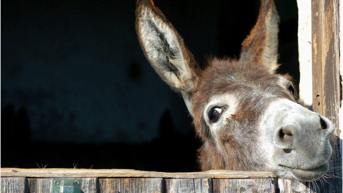 El burro fue sacrificado tras ser abusado sexualmente por 15 chicos