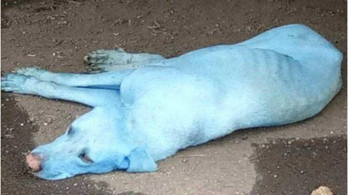 El extraño caso de los perros azules de la India